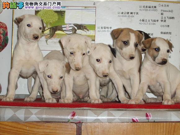 高品质的格力幼犬出售了 疫苗做完 质量三包
