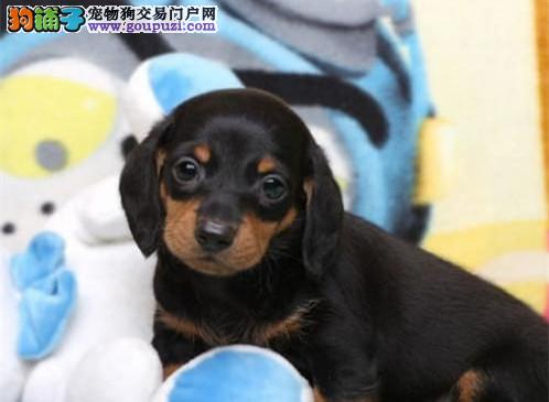 西安大型犬舍低价热卖极品腊肠犬带血统证书签活体协议