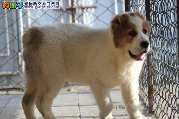 高品质的中亚幼犬出售了 疫苗做完 质量三包