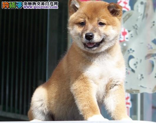 犬业直销 顶级柴犬价格合理健康纯度保障