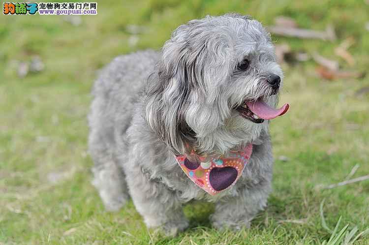 基地直销西施犬包健康三个月上门优惠中另有各类名犬
