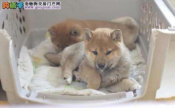 纯种日系柴犬 可视频看 疫苗驱虫均做齐 自家繁殖
