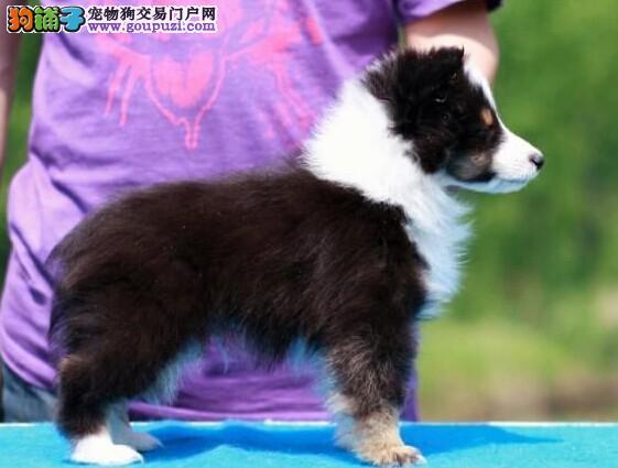 赛级纯种喜乐蒂幼犬血统纯保健康出售