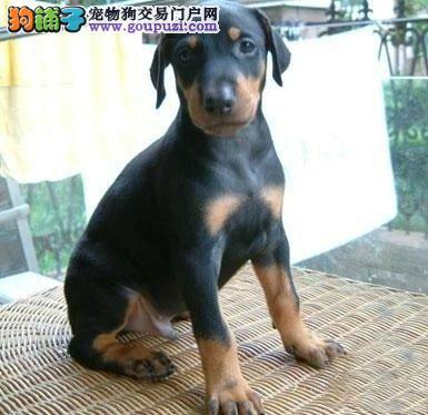 天津出售杜宾犬公母都有品质一流看父母照片喜欢加微信