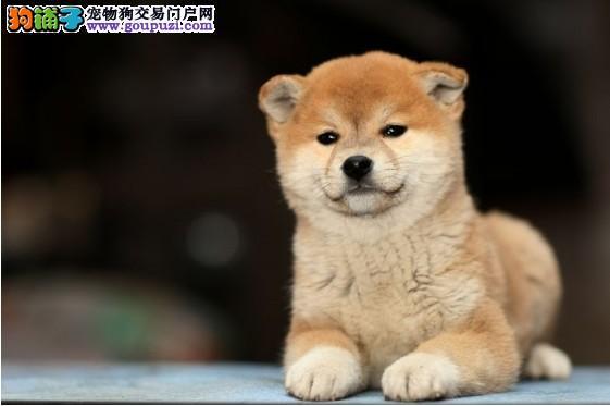 杭州柴犬多少钱 哪里有卖纯种日本柴犬 柴犬价格