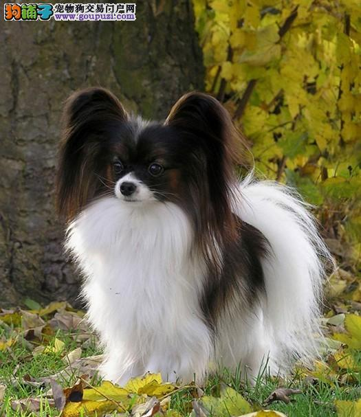 多种颜色的洛阳蝴蝶犬找爸爸妈妈欢迎爱狗人士上门选购