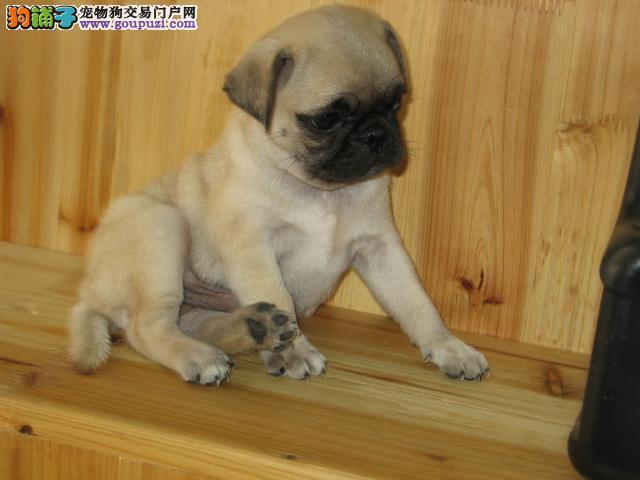 纯种巴哥犬宝宝北京地区找主人包养活包退换