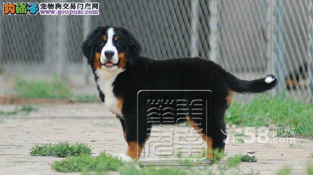 优秀且受欢迎的品种瑞士伯恩山犬 质保三年 包纯健康