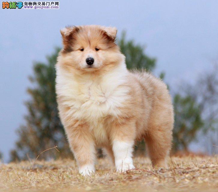 CKU认证犬业打造顶级冠赛苏牧幼犬公母全可刷卡质保