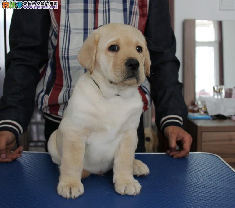 精品拉布拉多寻回犬丨认准正规基地丨实地放心购犬