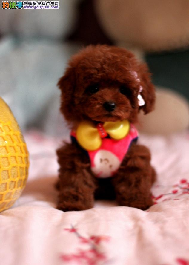 实物拍摄,超级萌宠精品泰迪犬,疫苗齐全,包健康品质