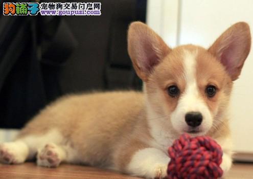 精品威尔士级柯基幼犬品相好健康有保障 可签购犬协议