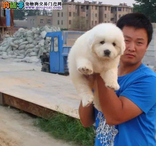 大型狗场,CKU大白熊犬,骨量粗壮,支持视频看狗狗