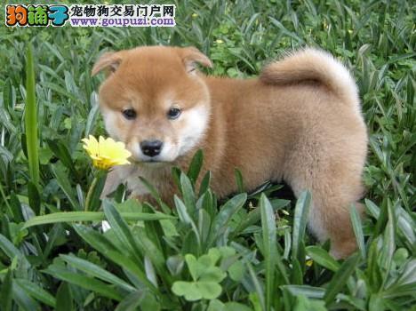 CKU认证犬舍直销赛级柴犬纯种健康签订质保协议