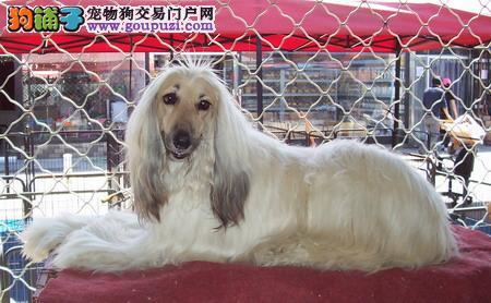 高品质阿富汗猎犬幼犬,公母均有多只选择,三包终生协议