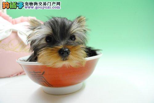 哪里有纯血统的长毛约克夏幼犬