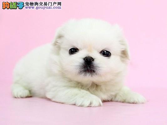 出售极品京巴幼犬完美品相血统证书芯片齐全