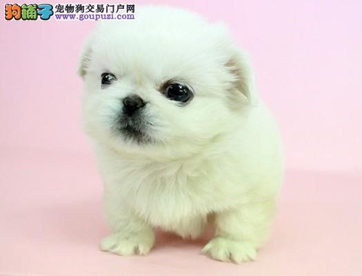出售郑州京巴健康养殖疫苗齐全微信视频看狗