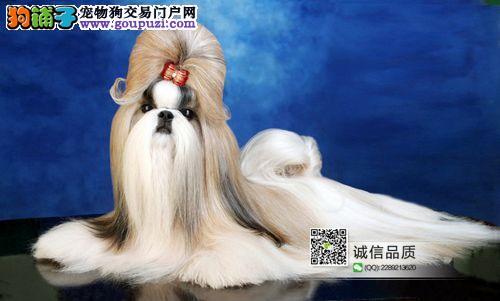 温顺、聪明西施犬在这里、优惠纯种和健康、CKU认证