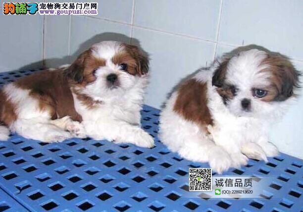 极品西施犬,贵族版,纯种精品宝宝出售,可以空运