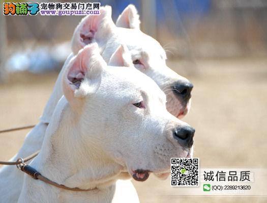 高品质杜高犬犬CKU认证繁殖基地健康保证可签协议