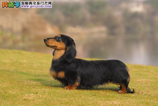 专业繁殖纯种郑州腊肠犬疫苗齐全可刷卡可视频
