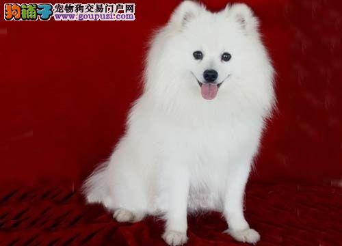 白富美超级可人爱的银狐幼犬出售 保纯种健康 全国运