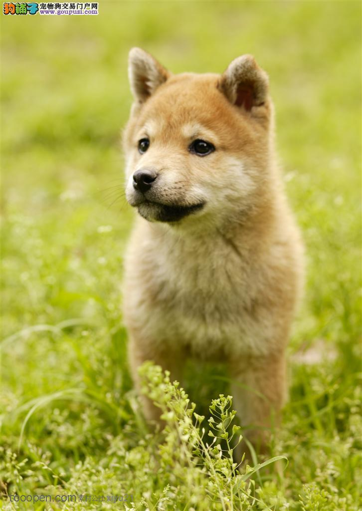 吐鲁番自家繁殖纯种柴犬幼犬品相好保健康