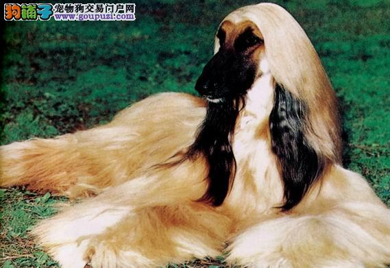 CKU犬舍认证出售高品质阿富汗猎犬包养活包退换
