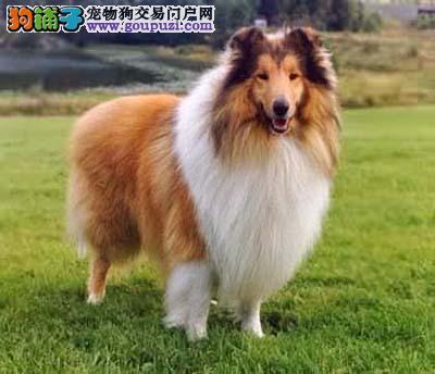 自家专业繁殖健康的苏格兰犬宝宝出售