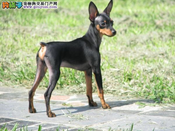 热销多只优秀的衢州纯种杜宾犬幼犬签订三包合同