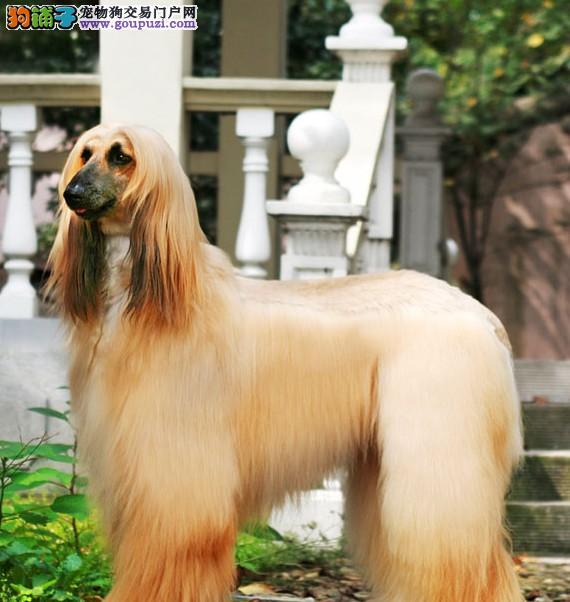 100%纯种健康的杭州阿富汗猎犬出售同城免费送货上门