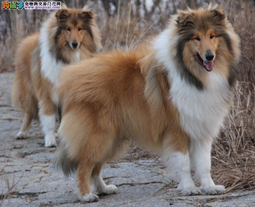 出售高品质苏格兰牧羊犬 专业繁殖血统纯正 诚信经营保障