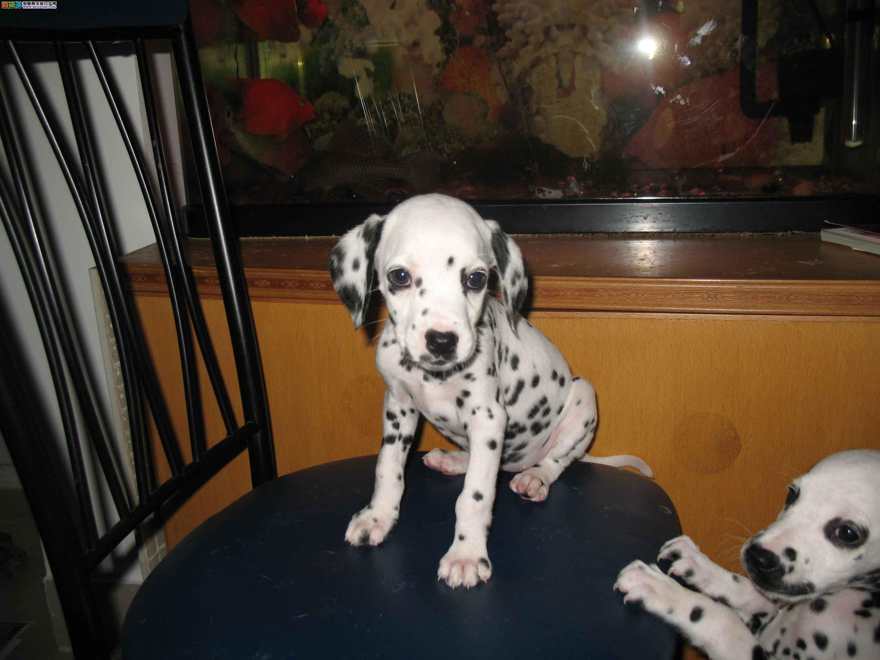 赛级血系 高品质斑点狗狗 正规狗场 全国可邮 保健康