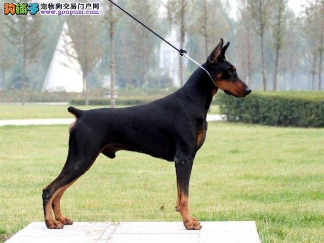 景德镇知名犬舍出售多只赛级杜宾犬真实照片视频挑选