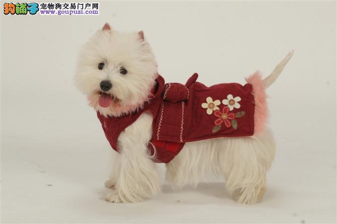 犬奇狗场出售顶级贵妇西高地可爱迷人可送货