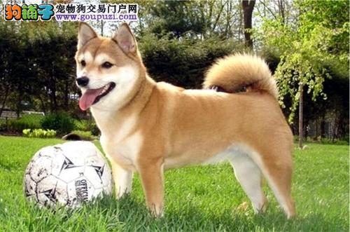 成都哪里出日本柴犬狗狗 成都哪里有好养的柴犬