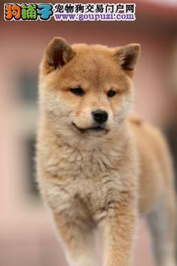 极品柴犬幼犬宝宝出售中带证书终身免费饲养指导