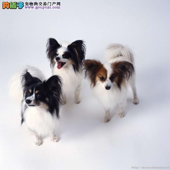 南京出售蝴蝶犬纯种健康