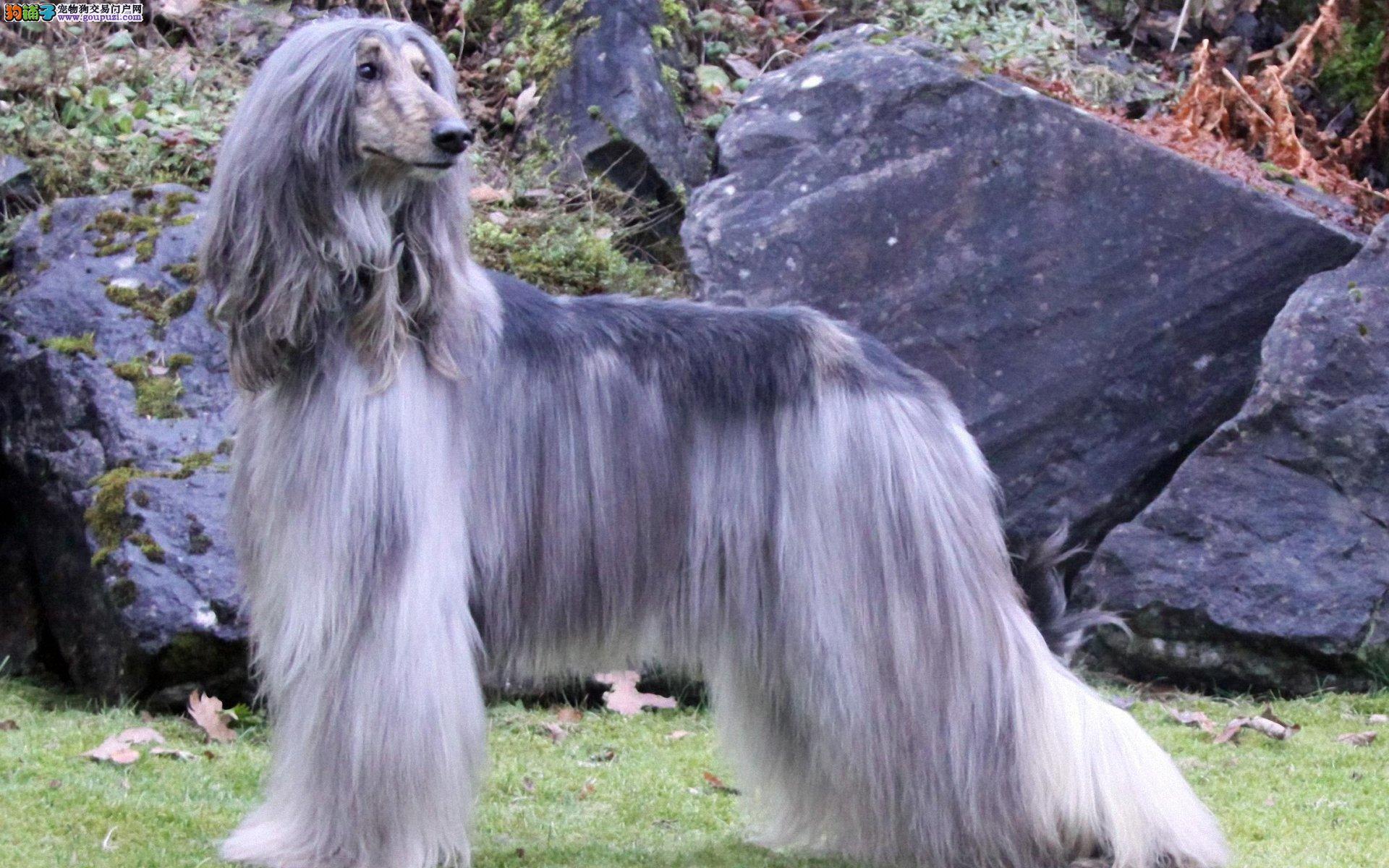 马出售阿富汗猎犬公母都有品质一流欢迎实地挑选