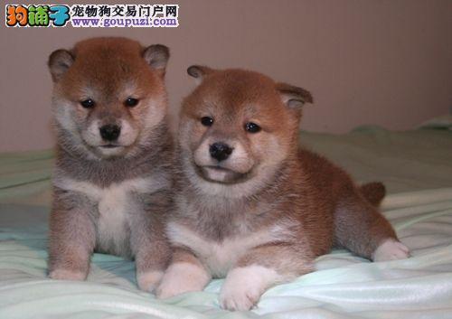 狗场出售秋田幼犬品相血统一级棒,可全国发货