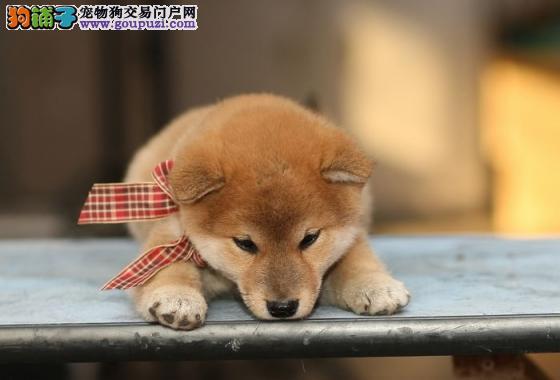 广州哪里有狗场,广州哪个区有卖柴犬