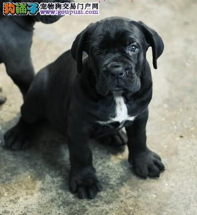 狗场出售卡斯罗幼犬保纯保健康 全国发货