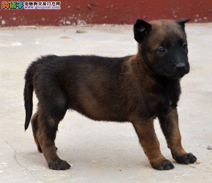 厦门自家养殖纯种马犬低价出售包养活送用品