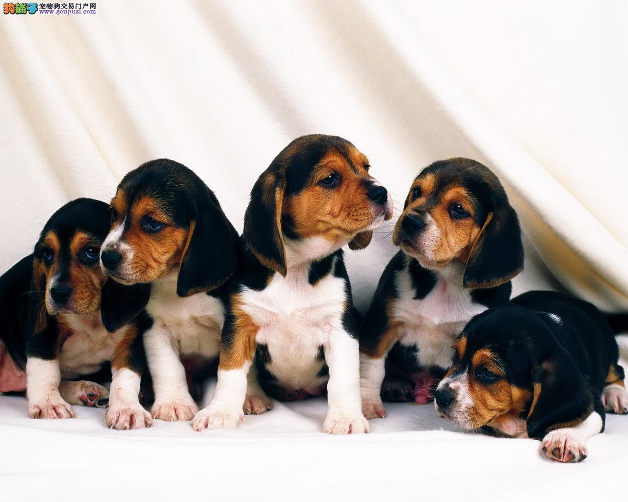 米格鲁呆萌幼犬宝宝接受预定 签订协议可送货