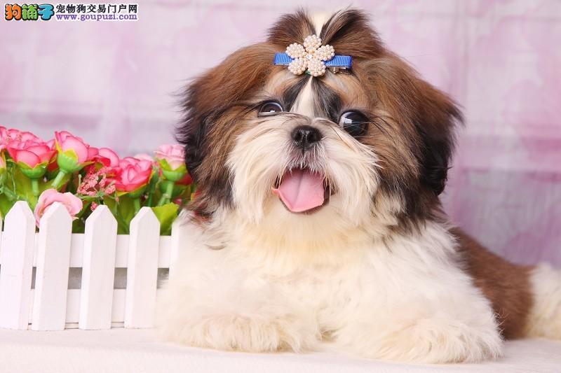 专业正规犬舍热卖优秀青岛西施犬请您放心选购