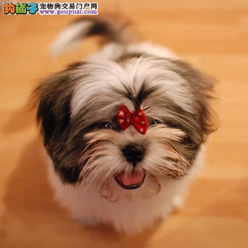 专业正规犬舍热卖优秀漳州西施犬以品质惊世人