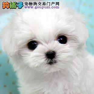 大型专业培育马尔济斯幼犬包健康可以送货上门