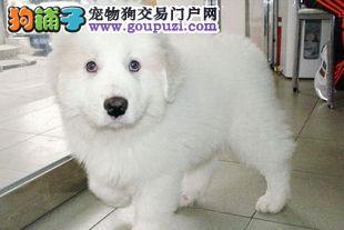权威机构认证犬舍 专业培育大白熊幼犬价格美丽品质优良