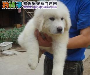 想养一只站着比你高躺着比你长的大白熊吗